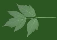 Box Elder Tree Leaf Texture 23