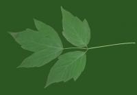 Box Elder Tree Leaf Texture 24