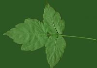Box Elder Tree Leaf Texture 25