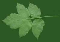 Box Elder Tree Leaf Texture 26