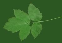 Box Elder Tree Leaf Texture 27