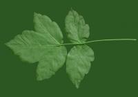 Box Elder Tree Leaf Texture 28