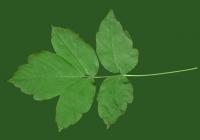 Box Elder Tree Leaf Texture 29
