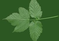 Box Elder Tree Leaf Texture 30