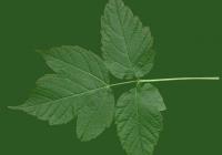 Box Elder Tree Leaf Texture 31