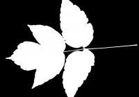 Box Elder Tree Leaf Texture Mask 04