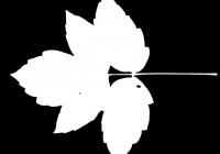 Box Elder Tree Leaf Texture Mask 15