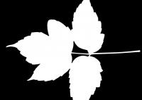 Box Elder Tree Leaf Texture Mask 19