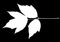 Box Elder Tree Leaf Texture Mask 22
