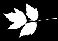 Box Elder Tree Leaf Texture Mask 23