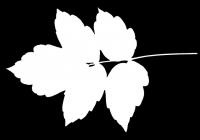 Box Elder Tree Leaf Texture Mask 25