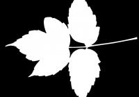 Box Elder Tree Leaf Texture Mask 29