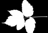 Box Elder Tree Leaf Texture Mask 30