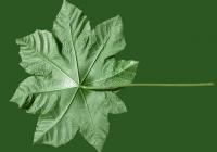 Castor Oil Plant Leaf Texture 01