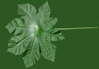 Castor Oil Plant Leaf Texture 02