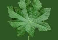 Castor Oil Plant Leaf Texture 03