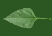 Free Jerusalem Artichoke Leaf Texture