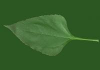 Free Helianthus Tuberosus Leaf Texture