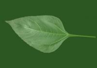 Free Sunroot Leaf Texture