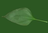 Free Sunchoke Leaf Texture