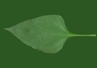 Free Earth Apple Leaf Texture