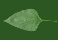 Free Topinambur Leaf Texture