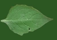 Free Jerusalem Artichoke Leaf Texture 01