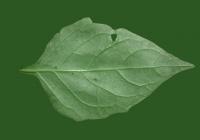 Free Jerusalem Artichoke Leaf Texture 02