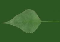 Free Jerusalem Artichoke Leaf Texture 03