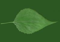 Free Jerusalem Artichoke Leaf Texture 04