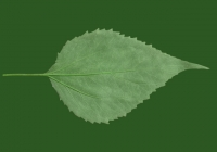 Free Jerusalem Artichoke Leaf Texture 05