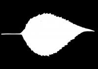 Free Jerusalem Artichoke Leaf Texture Mask 05