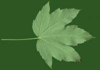 Red Maple Tree Leaf Texture Bottom