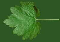 leaf_00251