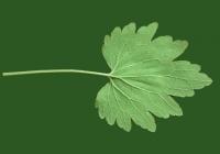 leaf_00374