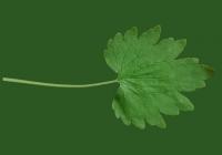 leaf_00375