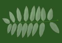 Honey Locust Leaf Texture 01