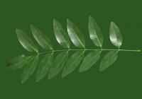 Honey Locust Leaf Texture 02