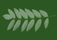 Honey Locust Leaf Texture 03