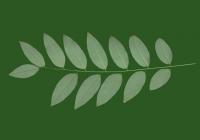 Honey Locust Leaf Texture 04