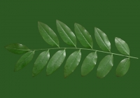 Honey Locust Leaf Texture 05