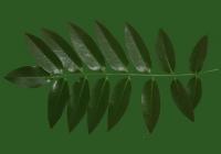 Honey Locust Leaf Texture 06
