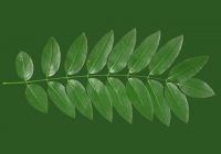 Honey Locust Leaf Texture 07