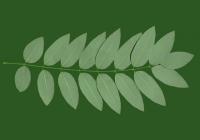 Honey Locust Leaf Texture 08