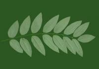 Honey Locust Leaf Texture 09