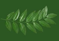 Honey Locust Leaf Texture 10