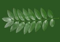 Honey Locust Leaf Texture 11