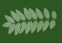 Honey Locust Leaf Texture 12