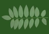 Honey Locust Leaf Texture 13