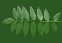 Honey Locust Leaf Texture 14
